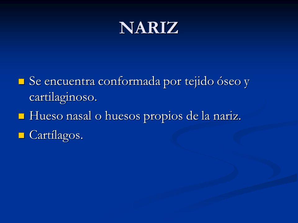 NARIZ Se encuentra conformada por tejido óseo y cartilaginoso. Se encuentra conformada por tejido óseo y cartilaginoso. Hueso nasal o huesos propios d