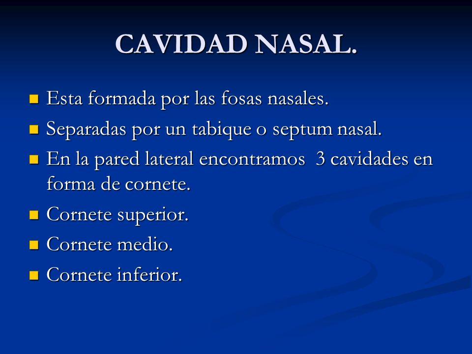 CAVIDAD NASAL. Esta formada por las fosas nasales. Esta formada por las fosas nasales. Separadas por un tabique o septum nasal. Separadas por un tabiq