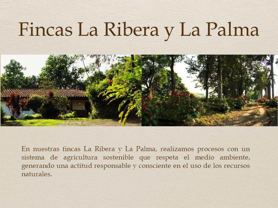 Ubicación El CAFÉ NANCETI se cultiva en la cordillera Central de los Andes, en las onduladas tierras del departamento del Quindío. Quimbaya Quindío Co