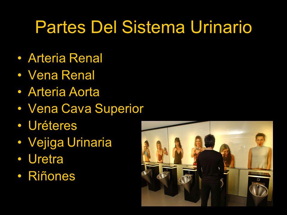 Partes Del Sistema Urinario Arteria Renal Vena Renal Arteria Aorta Vena Cava Superior Uréteres Vejiga Urinaria Uretra Riñones