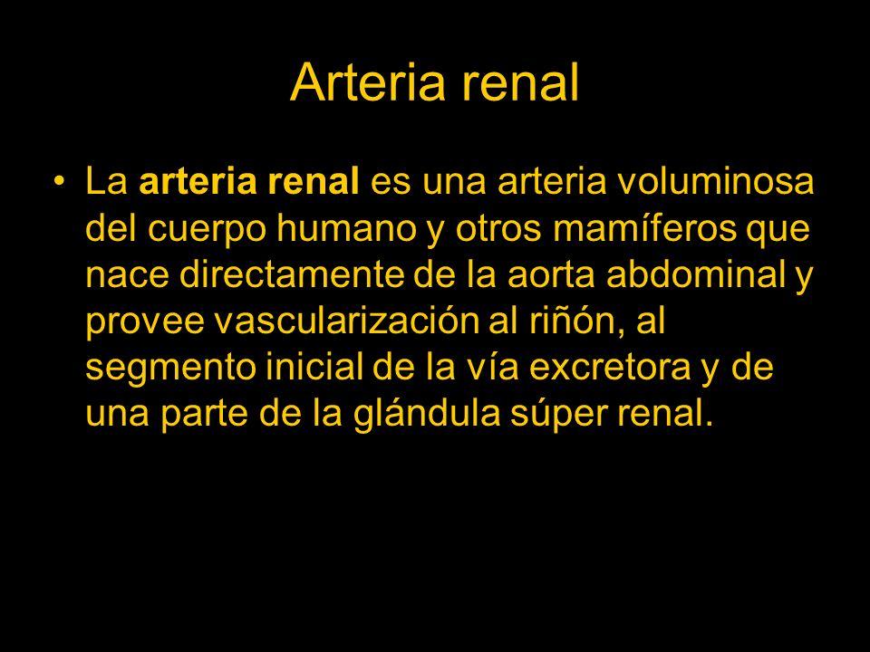Arteria renal La arteria renal es una arteria voluminosa del cuerpo humano y otros mamíferos que nace directamente de la aorta abdominal y provee vasc