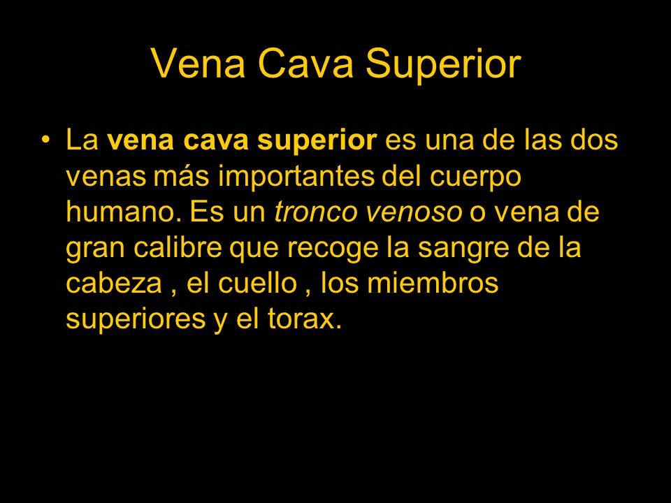 Vena Cava Superior La vena cava superior es una de las dos venas más importantes del cuerpo humano. Es un tronco venoso o vena de gran calibre que rec