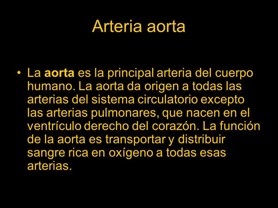Arteria aorta. La aorta es la principal arteria del cuerpo humano. La aorta da origen a todas las arterias del sistema circulatorio excepto las arteri