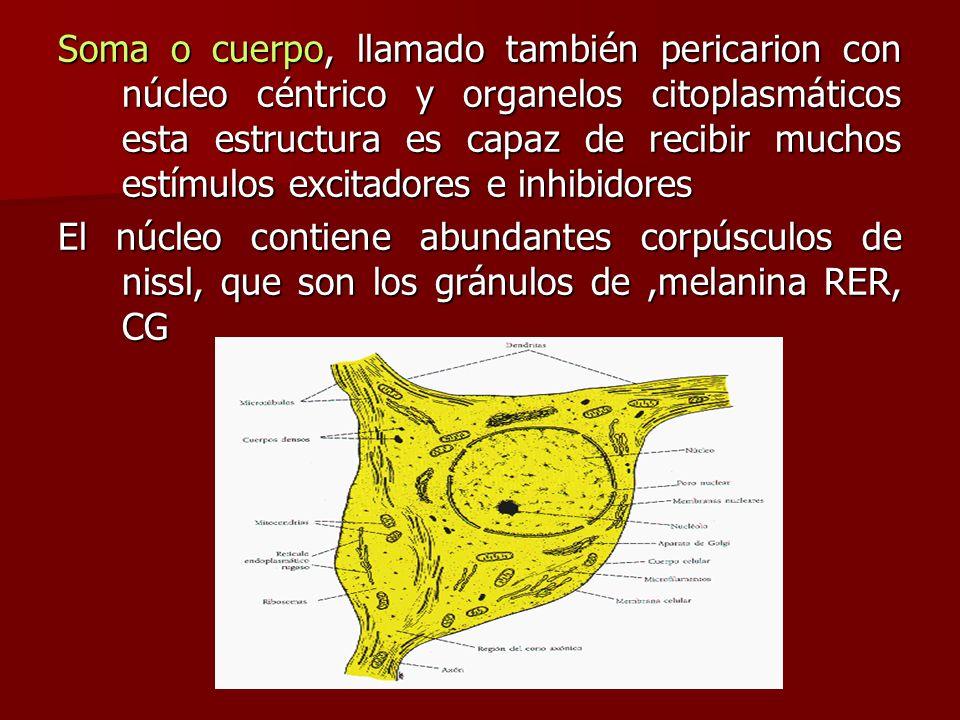 Soma o cuerpo, llamado también pericarion con núcleo céntrico y organelos citoplasmáticos esta estructura es capaz de recibir muchos estímulos excitad