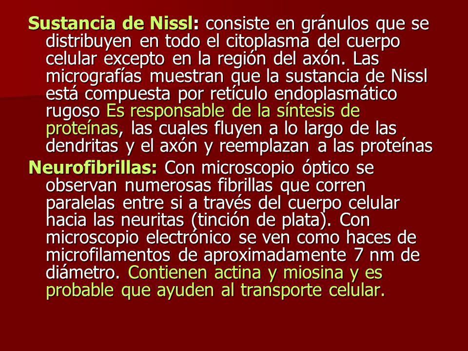 Sustancia de Nissl: consiste en gránulos que se distribuyen en todo el citoplasma del cuerpo celular excepto en la región del axón. Las micrografías m