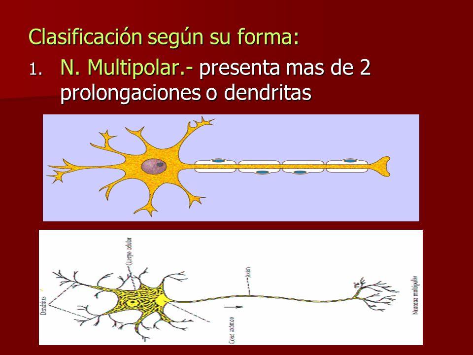 Clasificación según su forma: 1. N. Multipolar.- presenta mas de 2 prolongaciones o dendritas