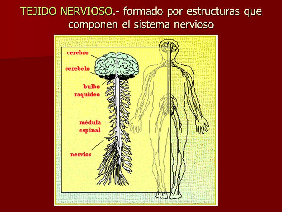 En el SNC existe el encéfalo y la medula espinal y esta estructura se observa dos partes la sustancia gris y blanca: a.- Sustancia Gris, microscópicamente se observa de este color formada por los cuerpos de la neurona y células de la neuroglia b.- Sustancia Blanca, esta formada por las prolongaciones de las neuronas y células de glia por tener gran cantidad de materia blanquecina llamada mielina.