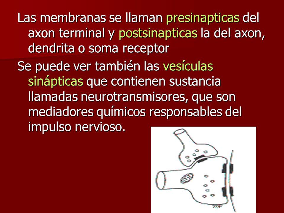 Las membranas se llaman presinapticas del axon terminal y postsinapticas la del axon, dendrita o soma receptor Se puede ver también las vesículas siná