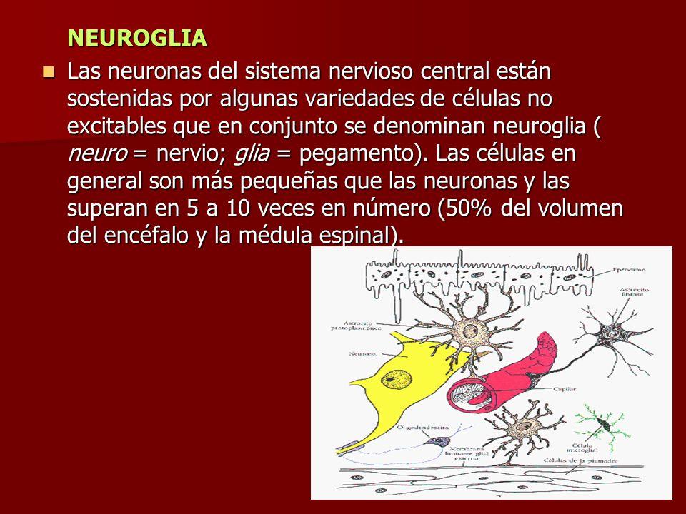 NEUROGLIA Las neuronas del sistema nervioso central están sostenidas por algunas variedades de células no excitables que en conjunto se denominan neur