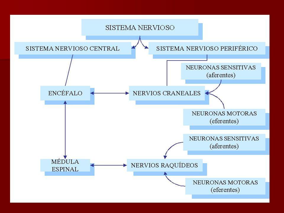 Epéndimo: Las células ependimales revisten las cavidades del encéfalo y el conducto central de la médula espinal.