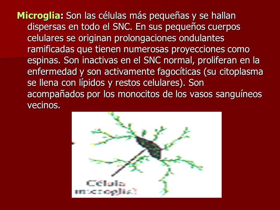 Microglia: Son las células más pequeñas y se hallan dispersas en todo el SNC. En sus pequeños cuerpos celulares se originan prolongaciones ondulantes