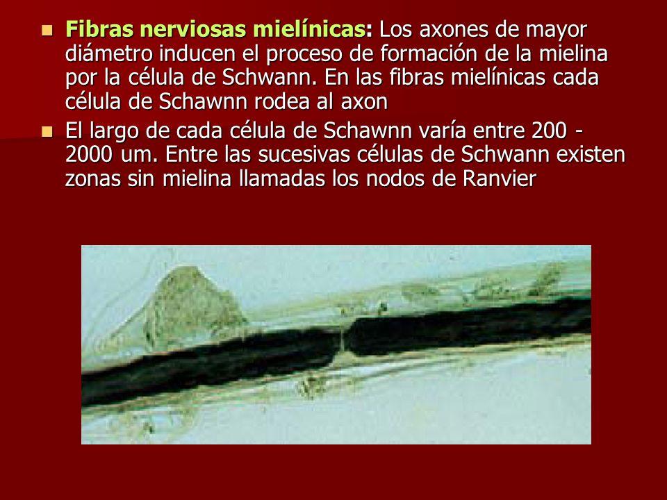 Fibras nerviosas mielínicas: Los axones de mayor diámetro inducen el proceso de formación de la mielina por la célula de Schwann. En las fibras mielín