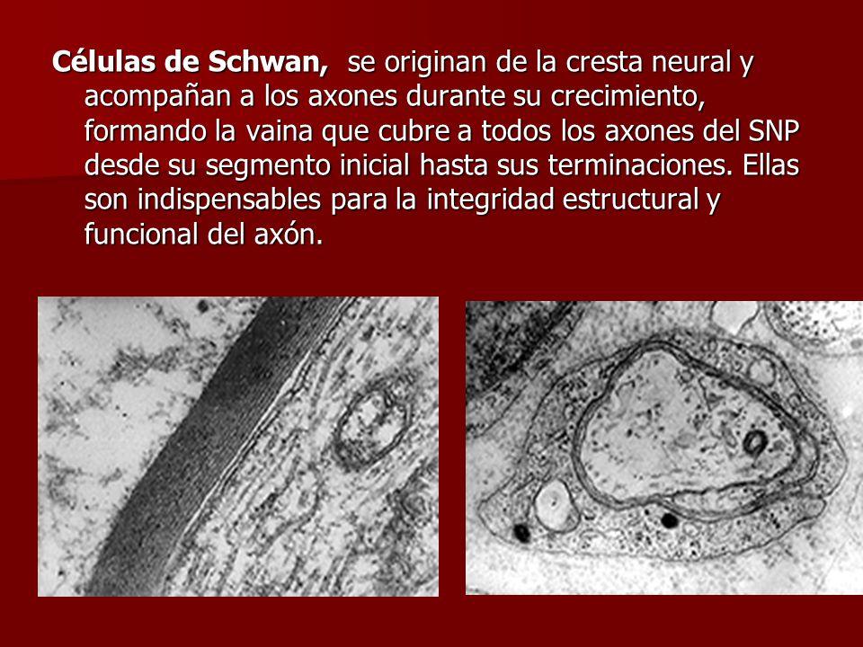 Células de Schwan, se originan de la cresta neural y acompañan a los axones durante su crecimiento, formando la vaina que cubre a todos los axones del