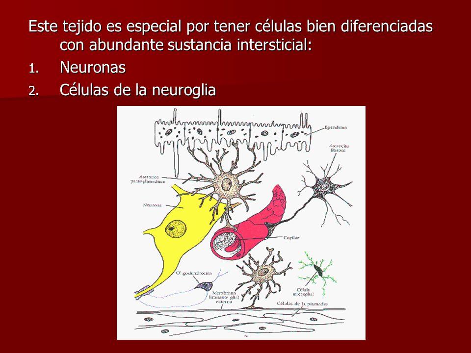 Este tejido es especial por tener células bien diferenciadas con abundante sustancia intersticial: 1. Neuronas 2. Células de la neuroglia