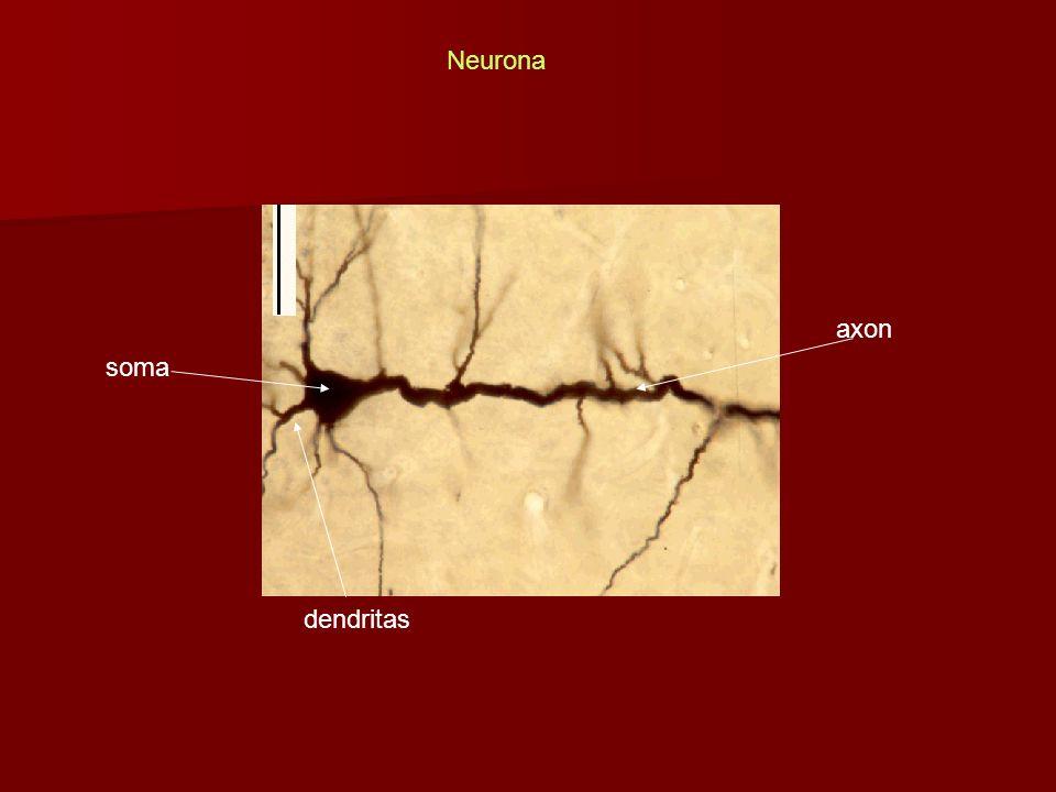 axon dendritas Neurona soma