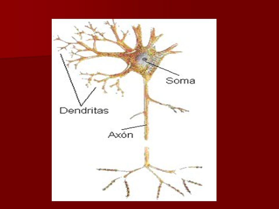 Neuronas de golgi tipo I.- tienen un axon muy largo que termina en la vecindad del cuerpo celular, con abundantes dendritas Estrellada en la medula espinal Piramidal Corteza cerebral Purkinge ó Globulosa corteza cerebeloza