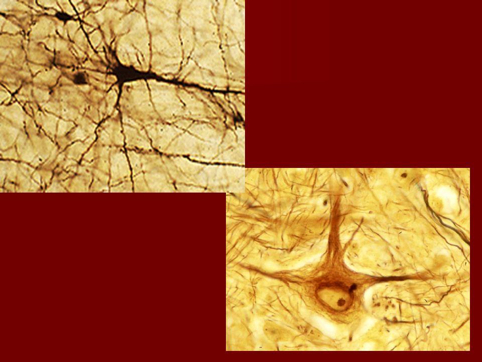 Las neuronas de Golgi tipo II tienen un axón corto que termina en la vecindad del cuerpo celular o que falta por completo.
