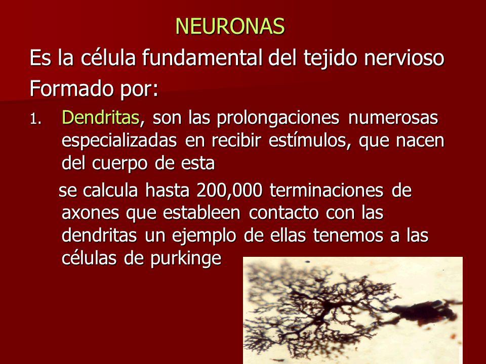 NEURONAS Es la célula fundamental del tejido nervioso Formado por: 1. Dendritas, son las prolongaciones numerosas especializadas en recibir estímulos,