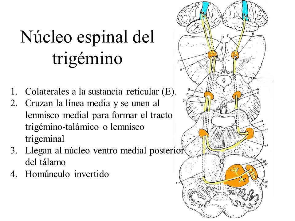 Núcleo espinal del trigémino 1.Colaterales a la sustancia reticular (E). 2.Cruzan la línea media y se unen al lemnisco medial para formar el tracto tr