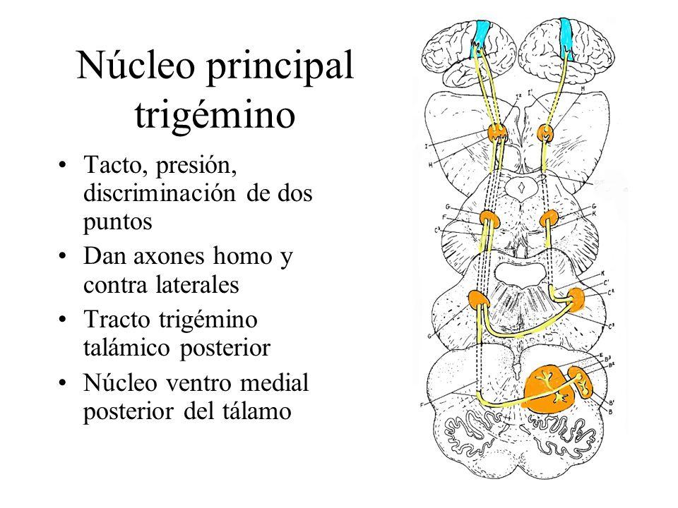 Núcleo principal trigémino Tacto, presión, discriminación de dos puntos Dan axones homo y contra laterales Tracto trigémino talámico posterior Núcleo
