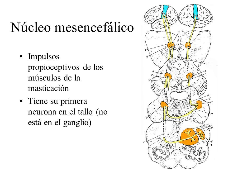 Núcleo mesencefálico Impulsos propioceptivos de los músculos de la masticación Tiene su primera neurona en el tallo (no está en el ganglio)