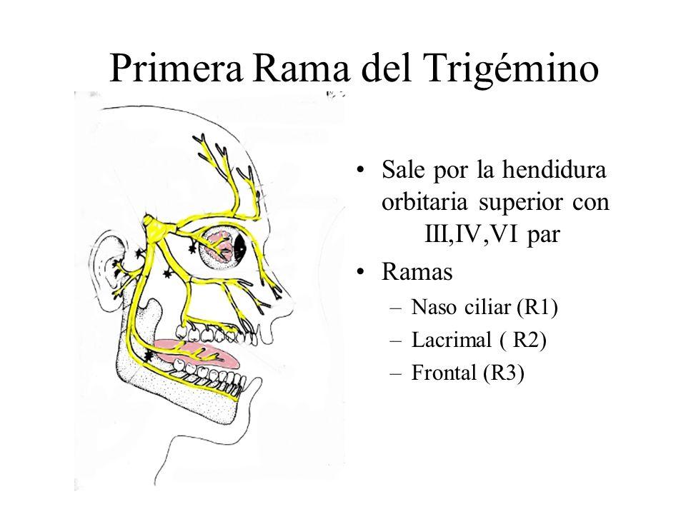 Primera Rama del Trigémino Sale por la hendidura orbitaria superior con III,IV,VI par Ramas –Naso ciliar (R1) –Lacrimal ( R2) –Frontal (R3) R1 R3 R2