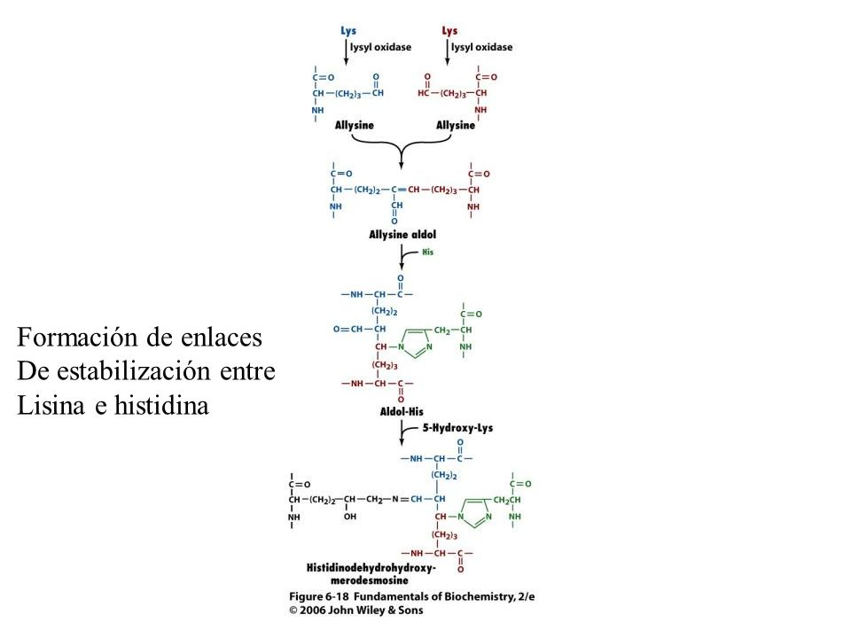 Formación de enlaces De estabilización entre Lisina e histidina