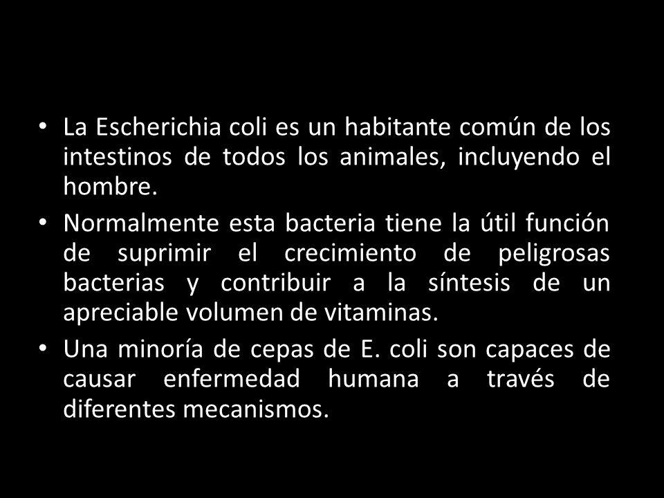 La Escherichia coli es un habitante común de los intestinos de todos los animales, incluyendo el hombre. Normalmente esta bacteria tiene la útil funci