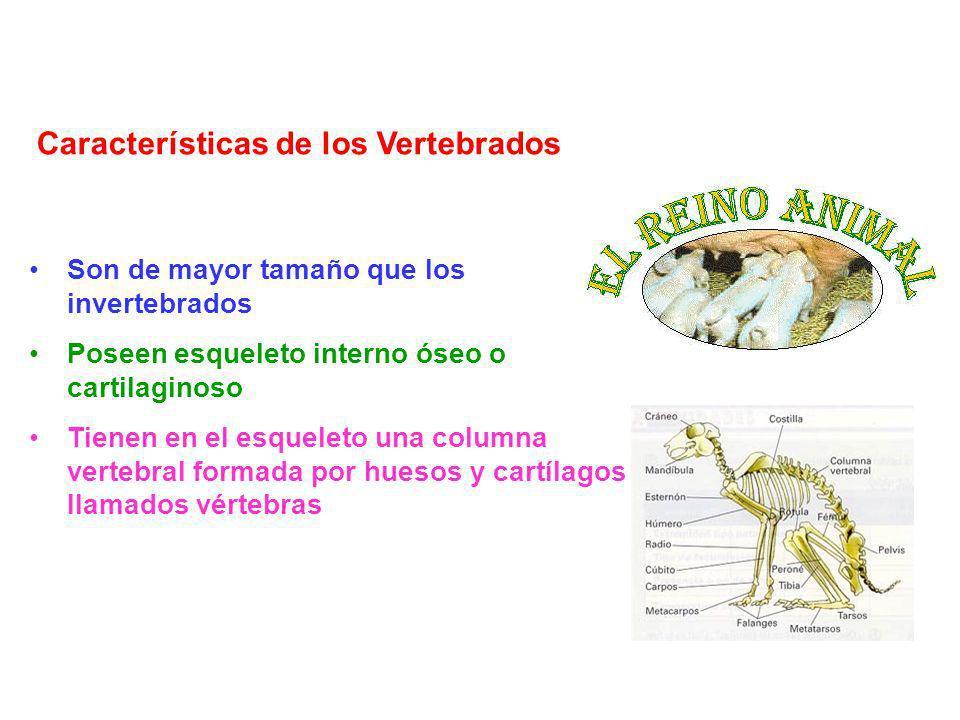 Características de los Invertebrados Suelen ser animales de pequeño tamaño Carecen de esqueleto interno óseo o cartilaginoso Muchos tienen conchas, caparazones o cubiertas de alguna sustancia dura