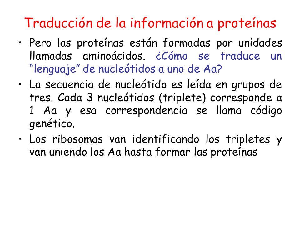 Traducción de la información a proteínas Pero las proteínas están formadas por unidades llamadas aminoácidos. ¿Cómo se traduce un lenguaje de nucleóti