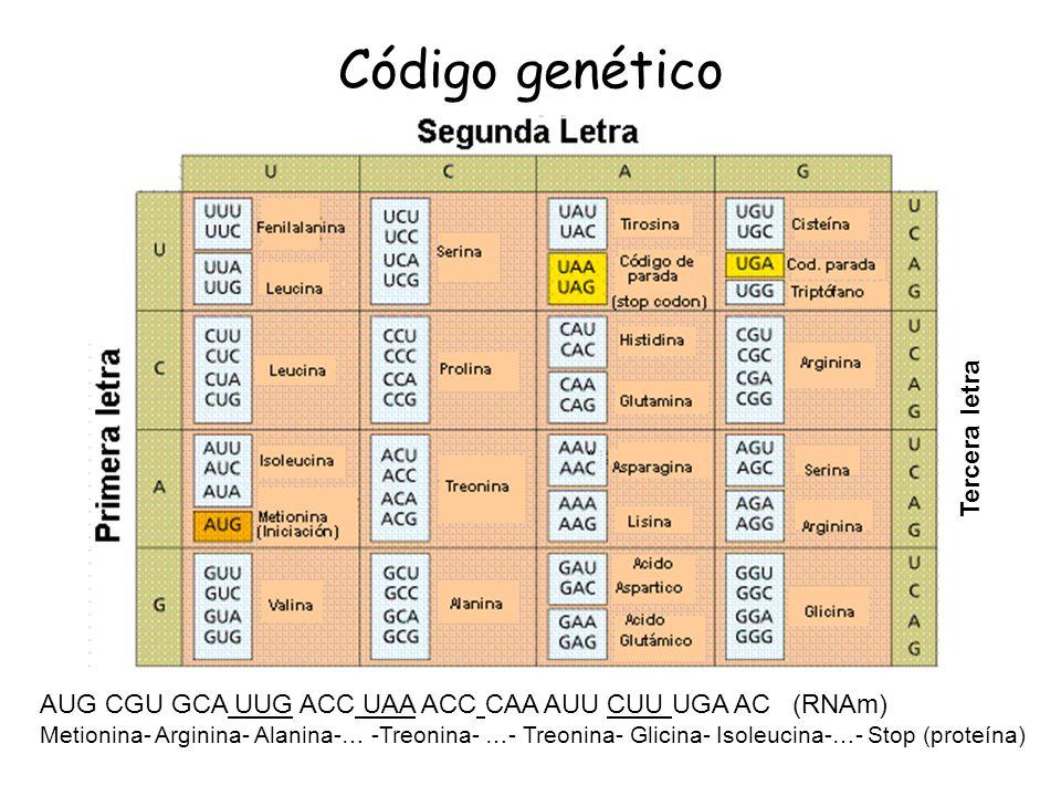 Código genético AUG CGU GCA UUG ACC UAA ACC CAA AUU CUU UGA AC (RNAm) Metionina- Arginina- Alanina-… -Treonina- …- Treonina- Glicina- Isoleucina-…- St