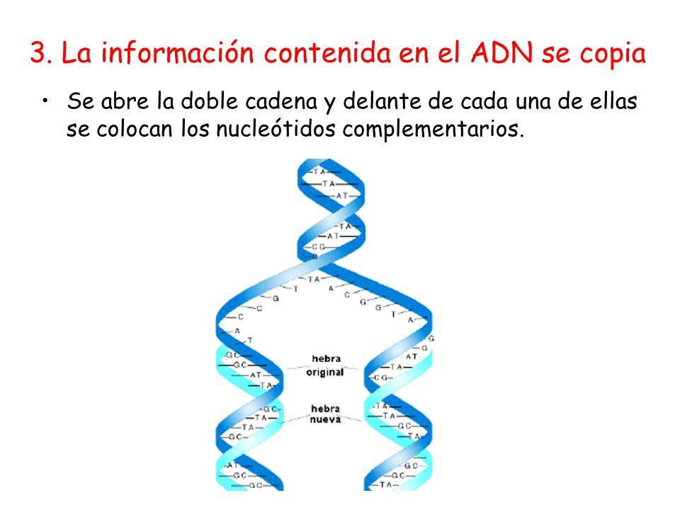 3. La información contenida en el ADN se copia Se abre la doble cadena y delante de cada una de ellas se colocan los nucleótidos complementarios.
