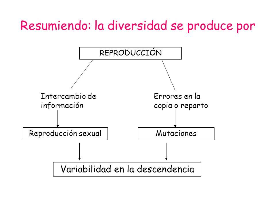 Resumiendo: la diversidad se produce por REPRODUCCIÓN Intercambio de información Errores en la copia o reparto Reproducción sexualMutaciones Variabili