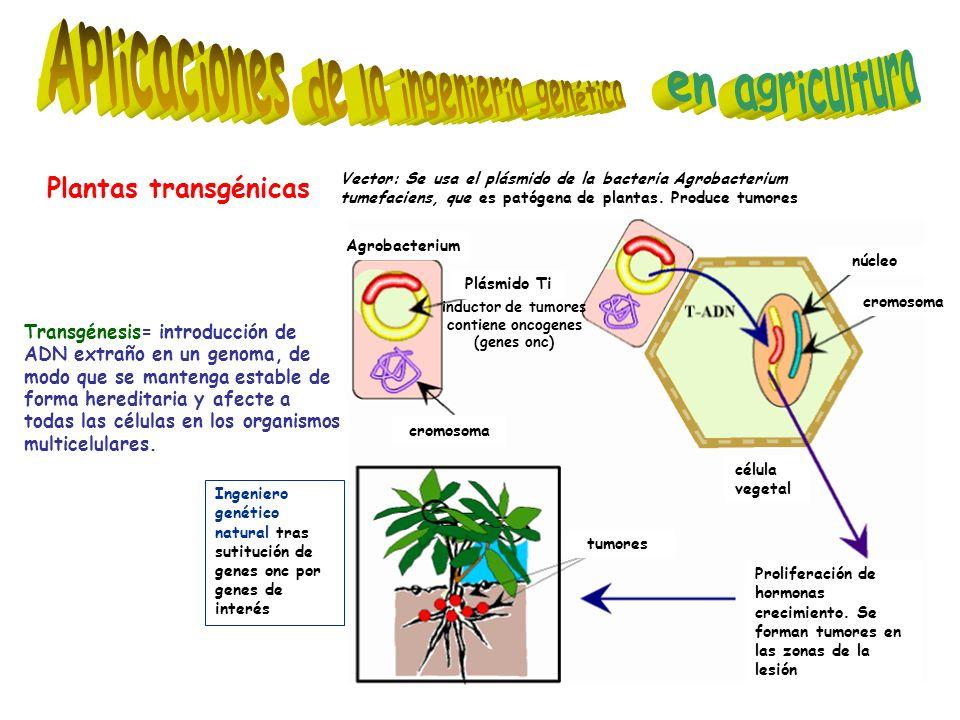 Plantas transgénicas tumores célula vegetal Proliferación de hormonas crecimiento. Se forman tumores en las zonas de la lesión Plásmido Ti núcleo crom