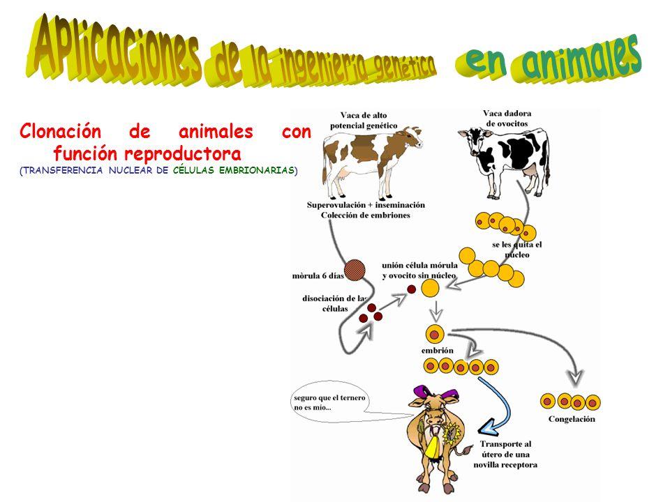 Clonación de animales con función reproductora (TRANSFERENCIA NUCLEAR DE CÉLULAS EMBRIONARIAS)
