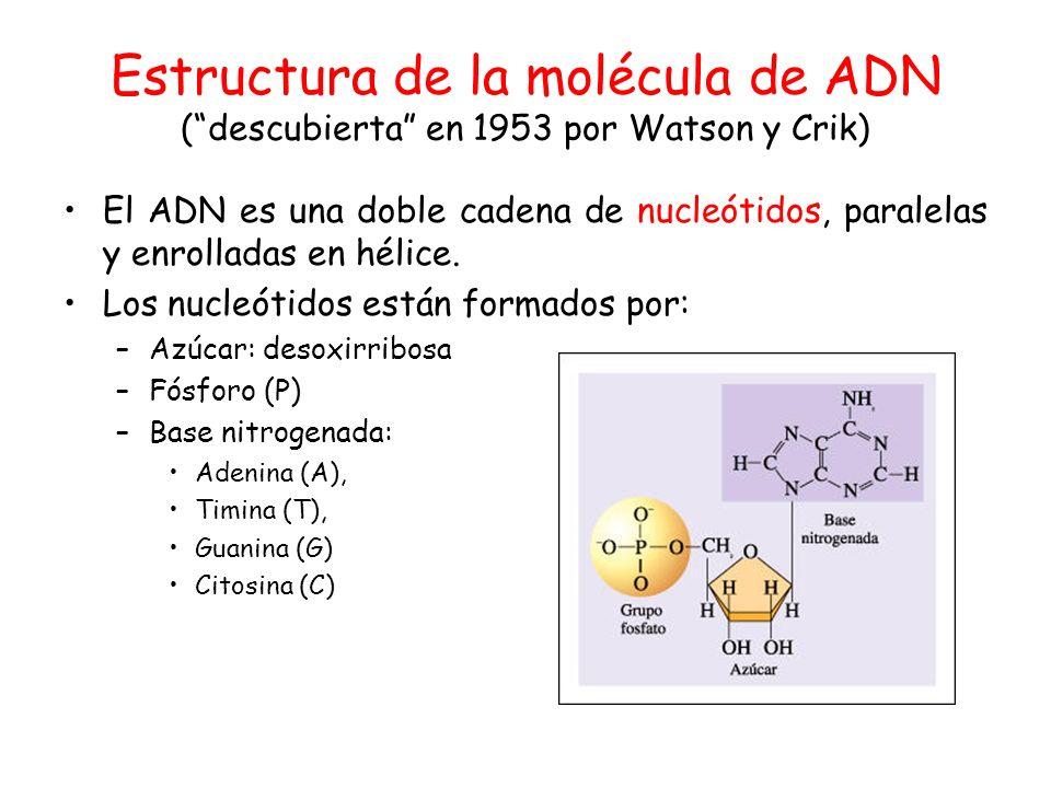 Estructura de la molécula de ADN (descubierta en 1953 por Watson y Crik) El ADN es una doble cadena de nucleótidos, paralelas y enrolladas en hélice.