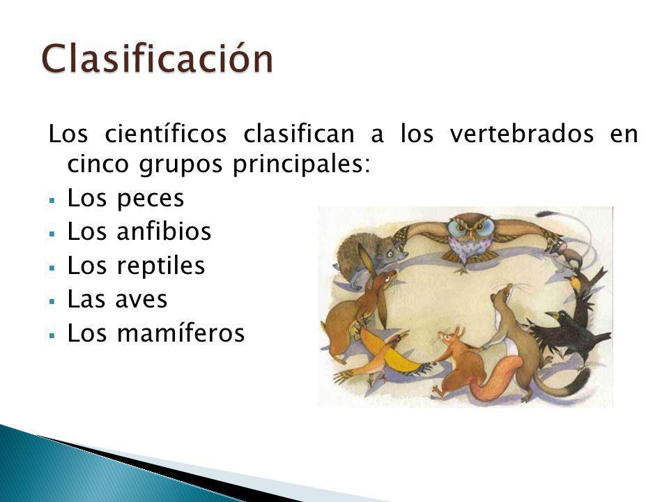 Los científicos clasifican a los vertebrados en cinco grupos principales: Los peces Los anfibios Los reptiles Las aves Los mamíferos