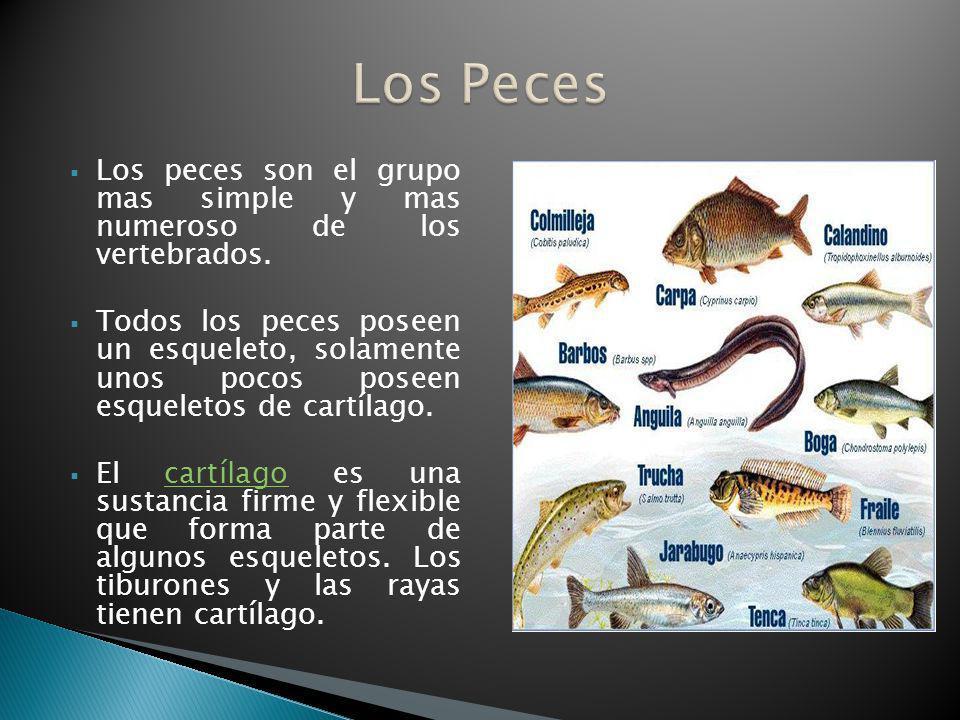 Los peces son el grupo mas simple y mas numeroso de los vertebrados. Todos los peces poseen un esqueleto, solamente unos pocos poseen esqueletos de ca