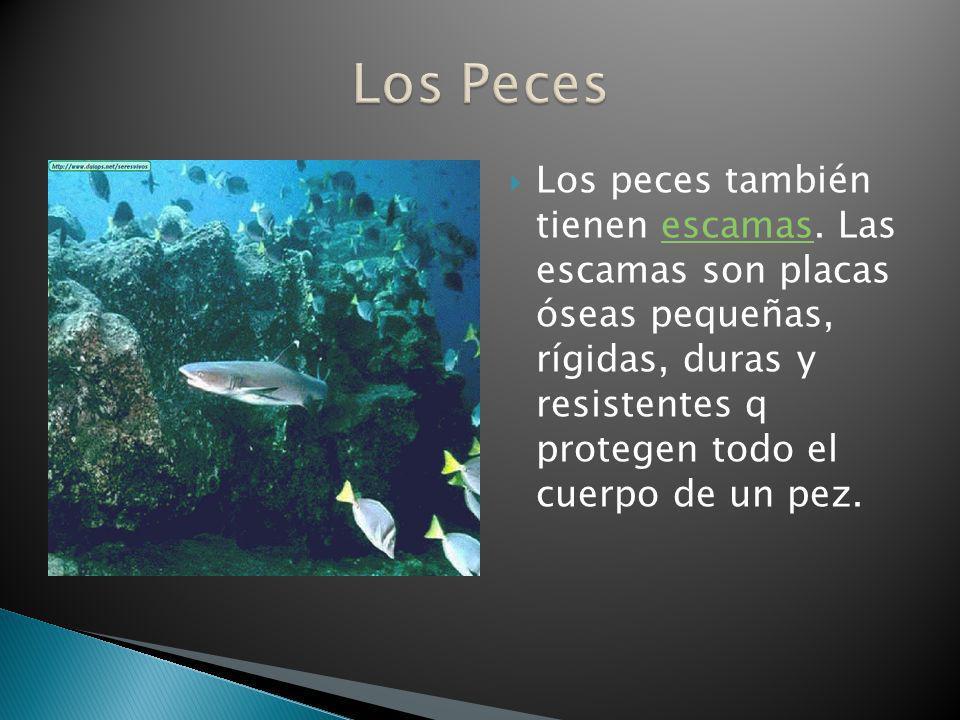 Los peces también tienen escamas. Las escamas son placas óseas pequeñas, rígidas, duras y resistentes q protegen todo el cuerpo de un pez.escamas