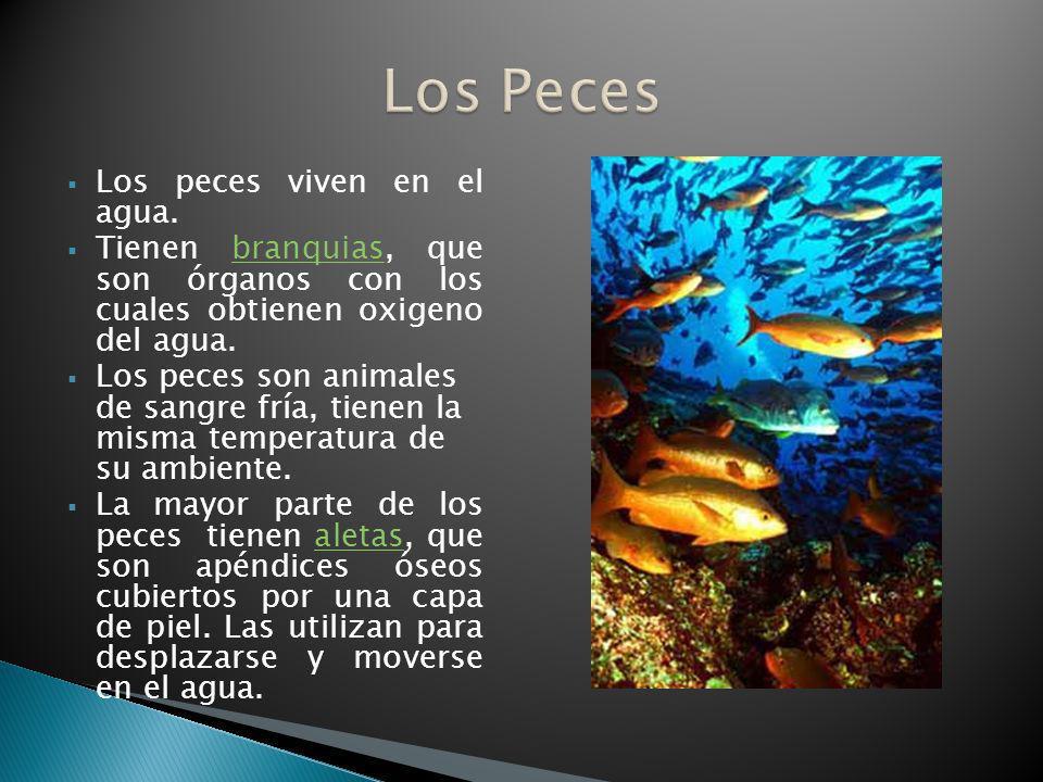 Los peces viven en el agua. Tienen branquias, que son órganos con los cuales obtienen oxigeno del agua.branquias Los peces son animales de sangre fría