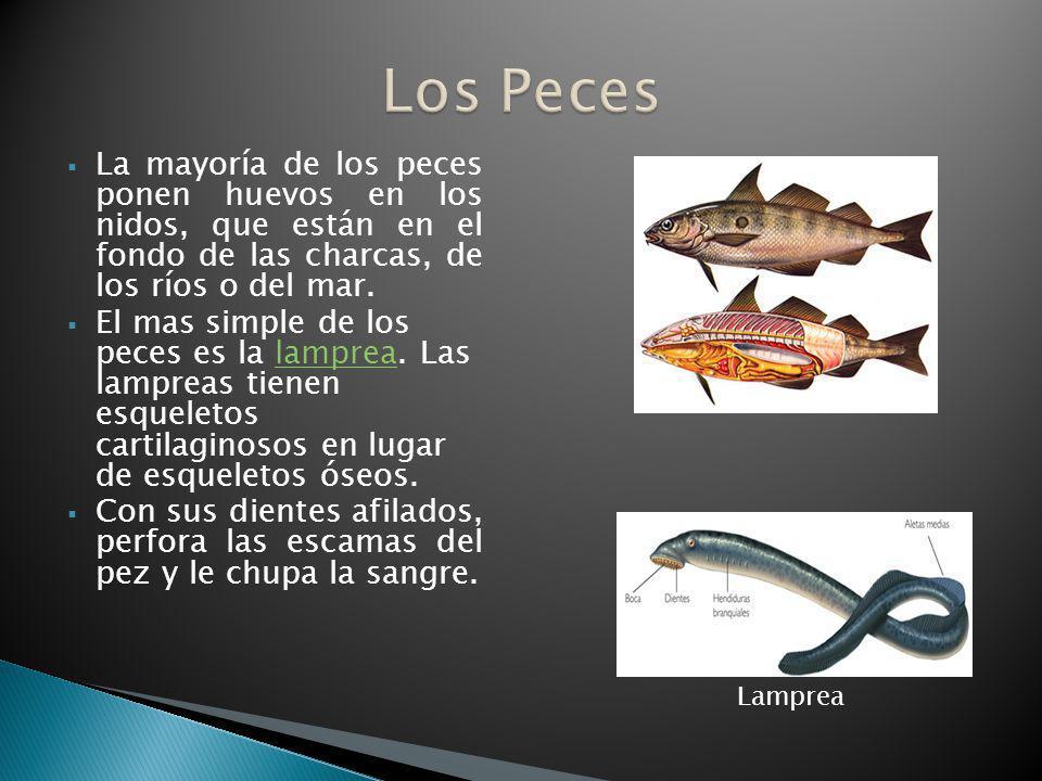 La mayoría de los peces ponen huevos en los nidos, que están en el fondo de las charcas, de los ríos o del mar. El mas simple de los peces es la lampr