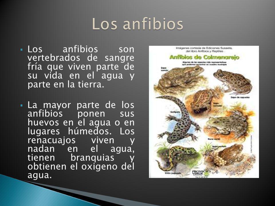 Los anfibios son vertebrados de sangre fría que viven parte de su vida en el agua y parte en la tierra. La mayor parte de los anfibios ponen sus huevo