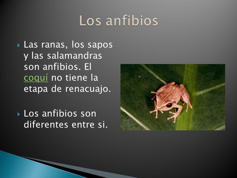 Las ranas, los sapos y las salamandras son anfibios. El coquí no tiene la etapa de renacuajo. coquí Los anfibios son diferentes entre si.
