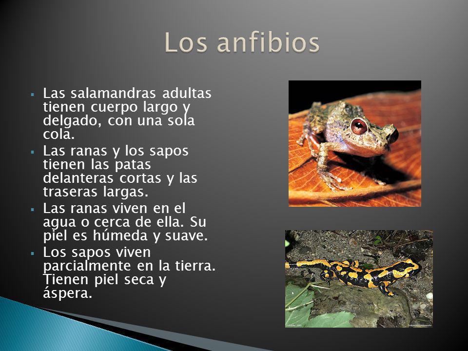 Las salamandras adultas tienen cuerpo largo y delgado, con una sola cola. Las ranas y los sapos tienen las patas delanteras cortas y las traseras larg