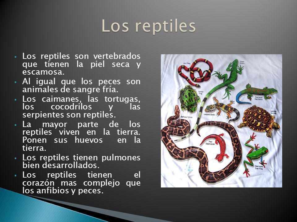 Los reptiles son vertebrados que tienen la piel seca y escamosa. Al igual que los peces son animales de sangre fría. Los caimanes, las tortugas, los c