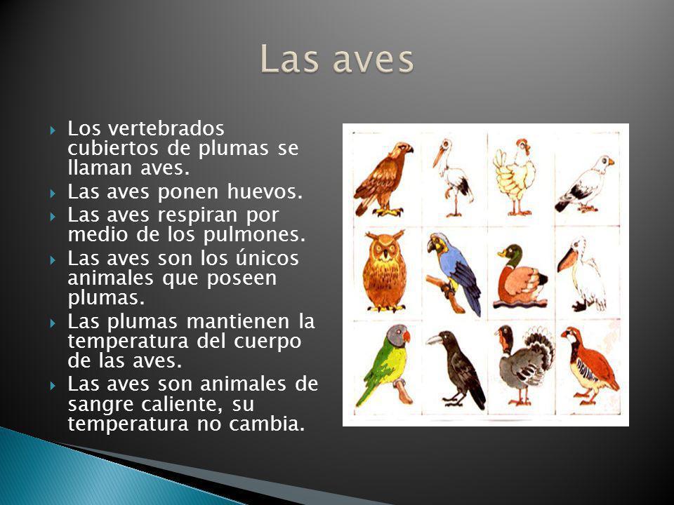 Los vertebrados cubiertos de plumas se llaman aves. Las aves ponen huevos. Las aves respiran por medio de los pulmones. Las aves son los únicos animal