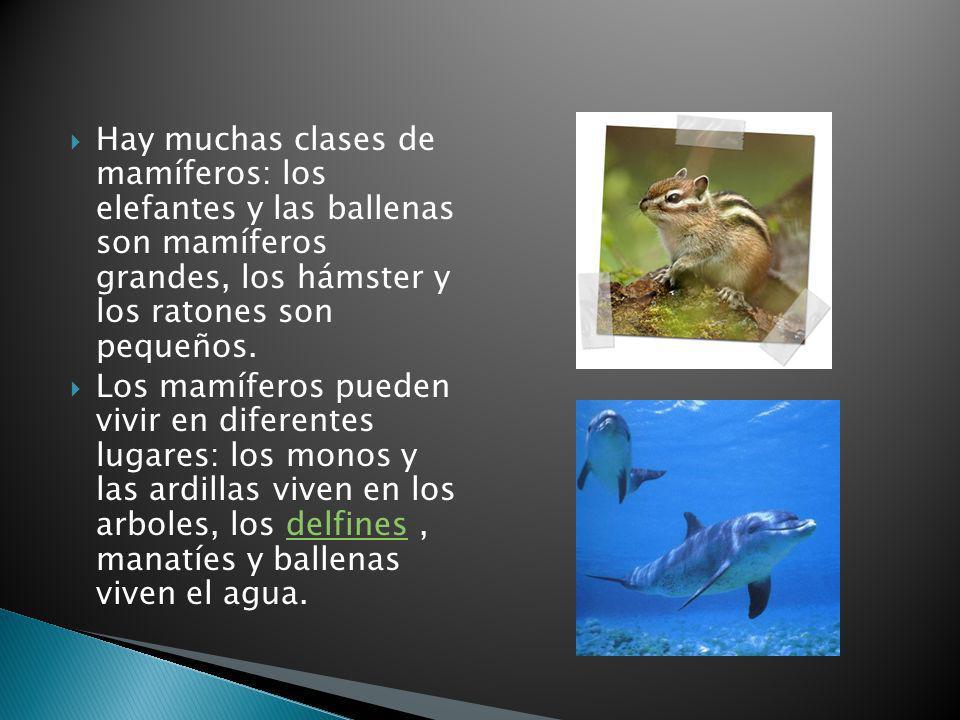 Hay muchas clases de mamíferos: los elefantes y las ballenas son mamíferos grandes, los hámster y los ratones son pequeños. Los mamíferos pueden vivir