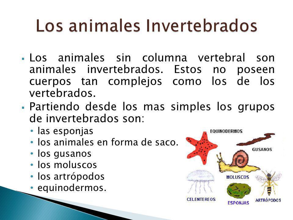 Los animales sin columna vertebral son animales invertebrados. Estos no poseen cuerpos tan complejos como los de los vertebrados. Partiendo desde los