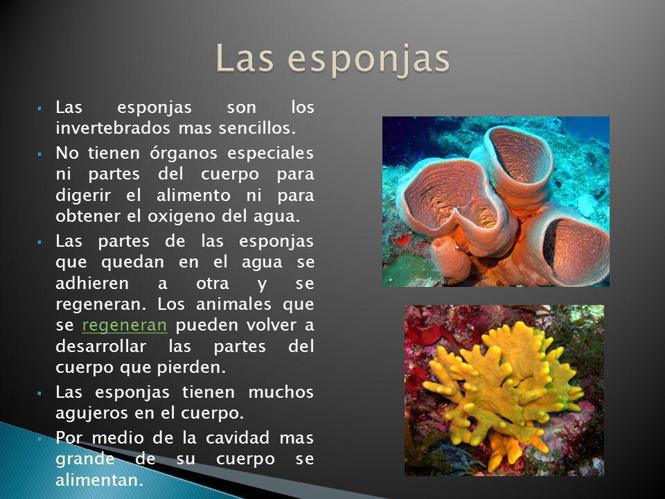 Las esponjas son los invertebrados mas sencillos. No tienen órganos especiales ni partes del cuerpo para digerir el alimento ni para obtener el oxigen