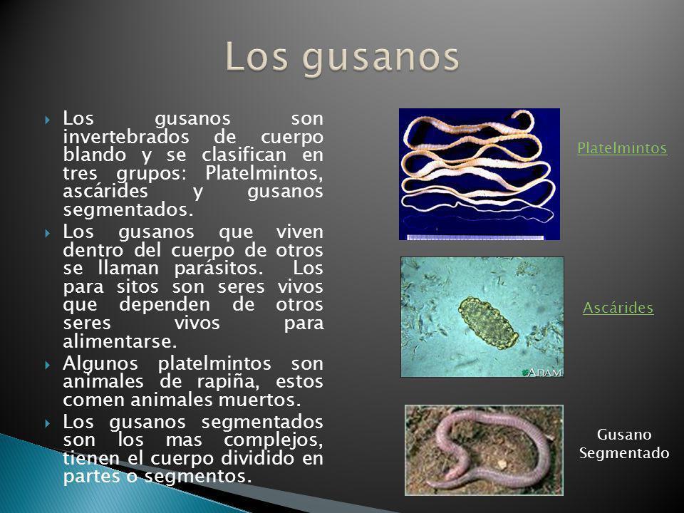 Los gusanos son invertebrados de cuerpo blando y se clasifican en tres grupos: Platelmintos, ascárides y gusanos segmentados. Los gusanos que viven de